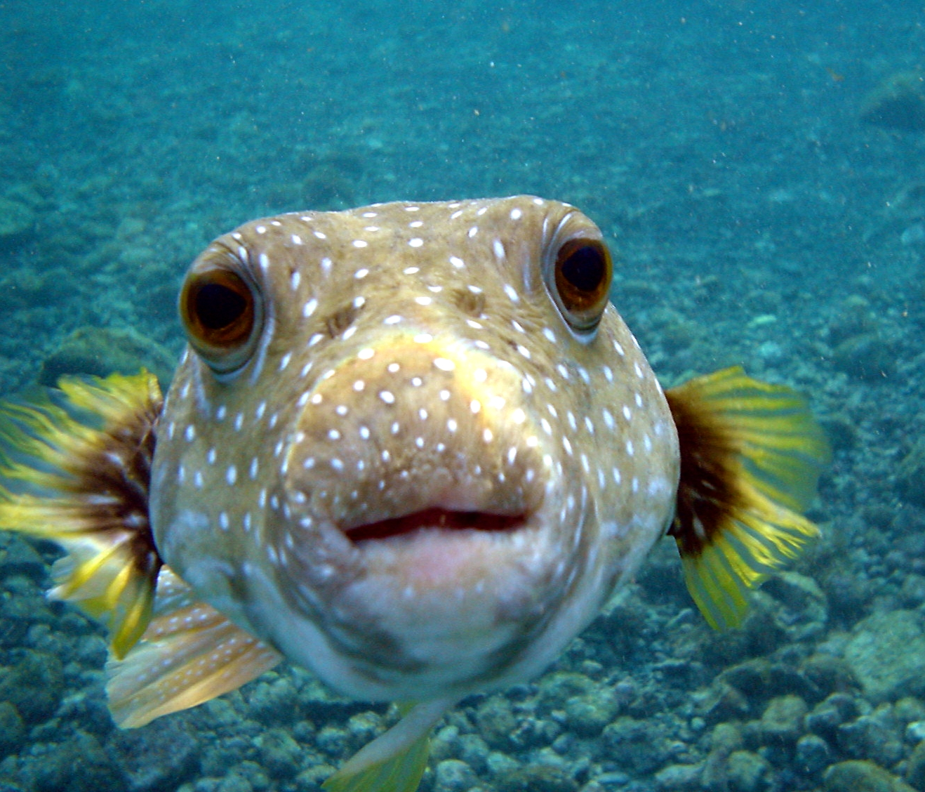 puffer_fish_dsc01257.jpg